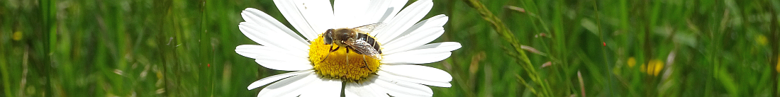 Biene auf Margaretenblume